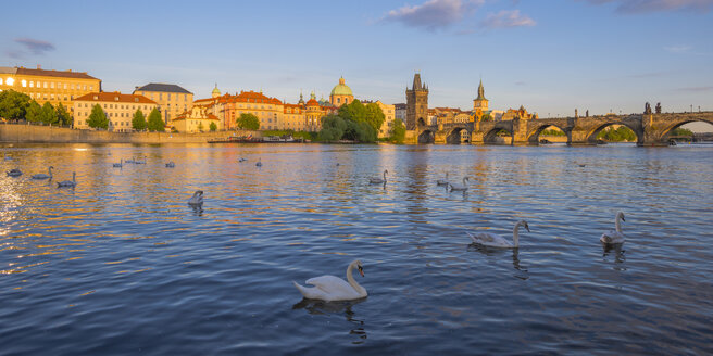 Czechia, Prague, mute swan, Vltava river, Old town with Charles Bridge in the background - WGF000874