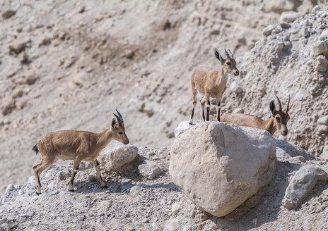 Israel, Ein Gedi, Nubian ibexes - HWOF000154