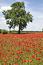 Field of poppies with tree - MAEF011834