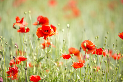 Field of poppies - MAEF011837