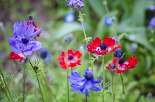 Purple and red anemone, blossoms - CZF000255