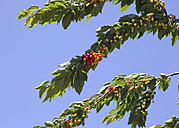 Cherries on tree - JTF000756
