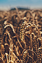Spikes of a wheat field - BZF000309
