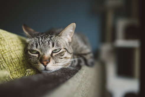Portrait of tabby cat snoozing on the backrest of a couch - RAEF001233