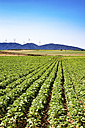 Spain, Andalusia, field of young sunflowers, crop - SMAF000471