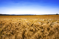 Spain, Andalusia, field of Barley - SMAF000474