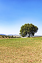 Spain, Andalusia, Olive tree with olive grove in the background - SMAF000483