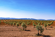Spain, Andalusia, Olive plantation in spring - SMAF000486