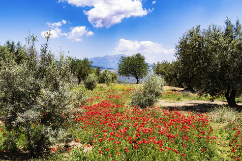 Spain, Andalusia, Olive grove, olive trees and poppies in spring - SMAF000489