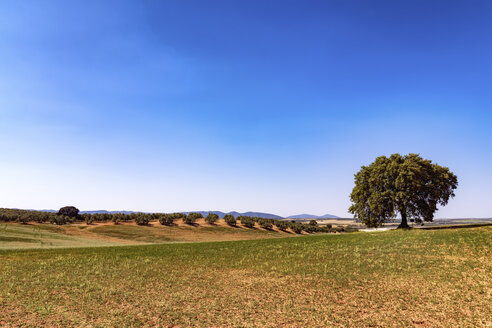 Spain, Andalusia, Olive plantation in spring - SMAF000492