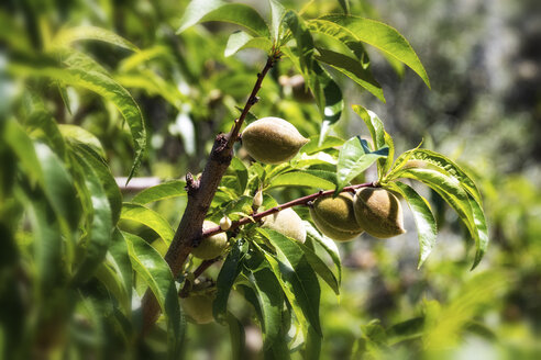 Spain, Andalusia, Peach Orchard, tree and fruits - SMAF000495