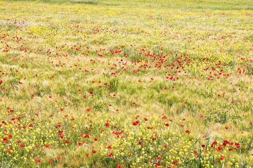 Spain, Andalusia, Villanueva de Trabuco, Field of barley with poppies - SMAF000498