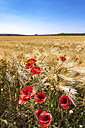 Spain, Andalusia, Field of barley with poppy flowers - SMAF000501