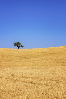 Spain, Andalusia, Barley field and tree - SMAF000510