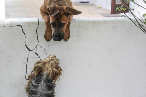 Dog looking over wall to another dog - ZEF008844