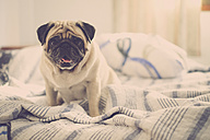 Pug sitting on bed - SIPF000563