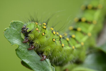 Caterpillar of Small Emperor moth on a leaf - MJOF001215