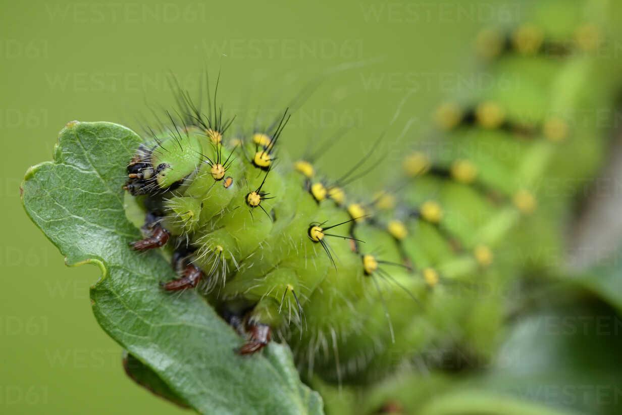 Caterpillar of Small Emperor moth on a leaf - MJOF001215 - Mark Johnson/Westend61
