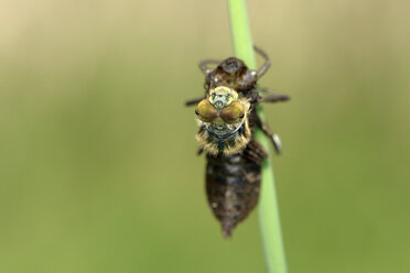 Four-spotted chaser, detail - MJOF001218