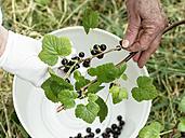 Senior woman harvesting blackcurrants, Ribes nigrum - HAWF000942