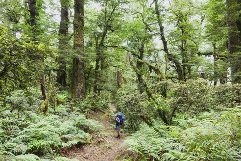 New Zealand, North Island, Te Urewera National Park, male hiker gazing at trees along hiking trail - GWF004792