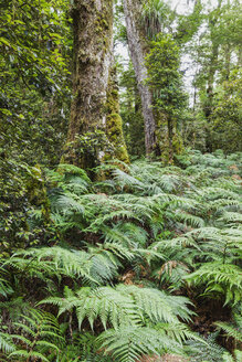 New Zealand, North Island, Te Urewera National Park, rainforest, trees and ferns - GWF004795