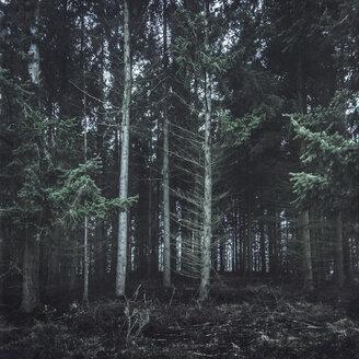 Germany, Altenahr, coniferous forest - DWIF000746