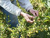 Senior woman harvesting gooseberries in a vegetable garden - HAWF000947