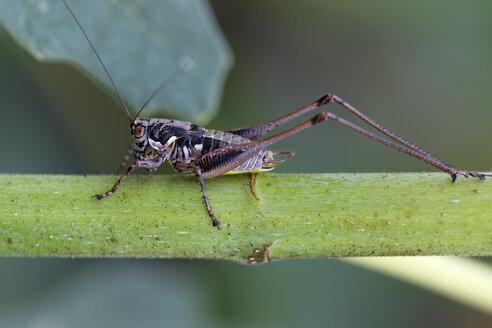 Dark bush-cricket, Pholidoptera griseoaptera - GFF000650