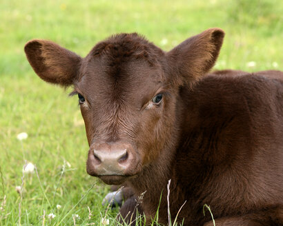 Portrait of Lincoln Red calf on a meadow - MJOF001236