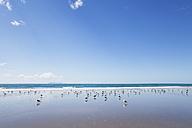 New Zealand, North Island, Coromandel region, Waihi Beach, Southern black-backed seagulls, Dominican gull, Larus dominicanus - GWF004843