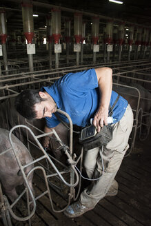 Salamanca, Spain, Pig farmer checking pregnancy of an iberian pig with an ultrasound device - ABZF000811