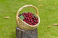 Wickerbasket of cherries - KLRF000434