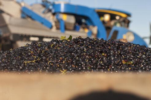 Grape harvest - ZEF009329