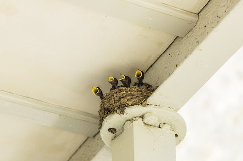 Four hungry young swallows in nest - THAF001661