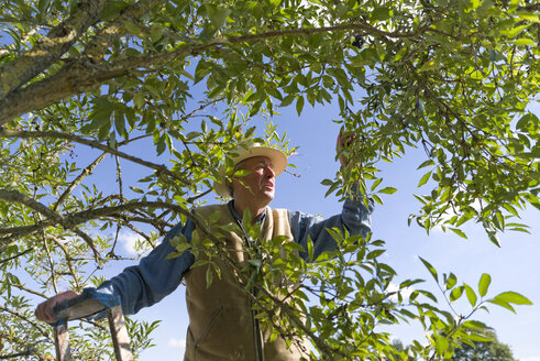 Senior man harvesting elderberries - KLRF000439