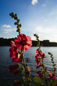 Germany, Hibiscus blossom, Deckstein pond in local recreation area near Cologne - DASF000062