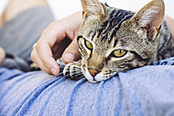 Portrait of tabby cat lying on man's chest - GEMF000942