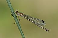 Female Emerald Damselfly on blade of grass - MJOF001246