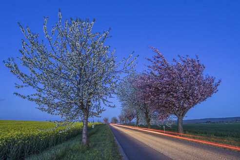 Germany, flowering cherry trees at country road, blue hour - PVCF000868