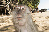 Thailand, Ao Nang, portrait of macaque on the beach - JATF000903