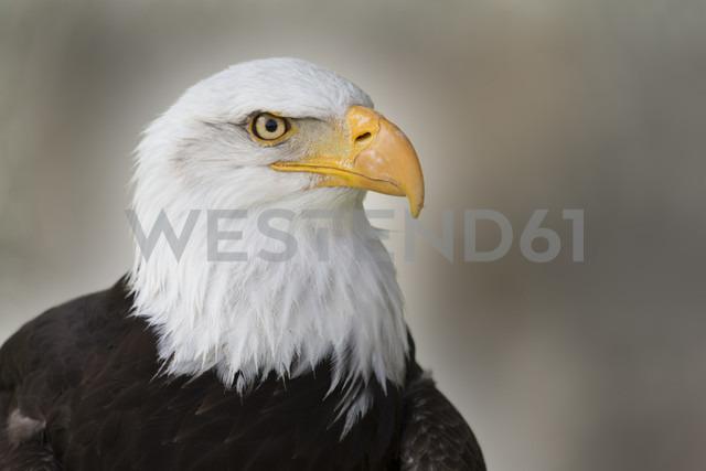 Portrait of a bald eagle - ERLF000185 - Enrique Ramos/Westend61