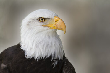 Portrait of a bald eagle - ERLF000185