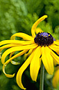 Blossom of perennial coneflower, close-up - CSF027524