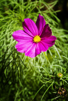 Pink blossom of Mexican aster - CSF027536