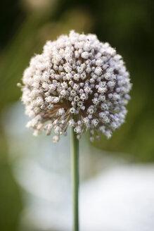 Garlic blossom - MYF001725