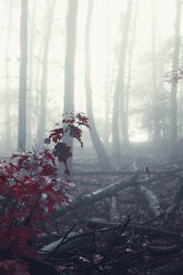 Winter forest and fog - DWIF000769