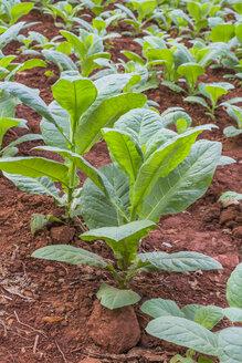 Cuba, Pinar del Rio, Valle de Vinales, tobacco field, plants - MABF000379