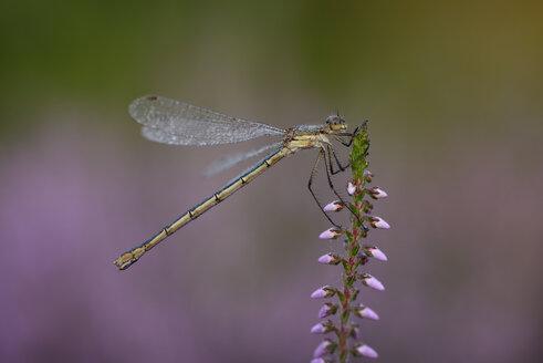 Emerald Damselfly, Lestes sponsa - MJOF001247