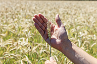 Man's hand holding spike of Triticale - EVGF003066